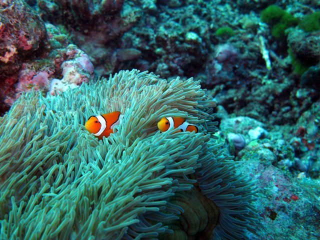 Diving_ClownFish